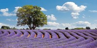 Lavender Field in Provence, France Fine Art Print