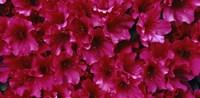 Red Azaleas, Sacramento, California Fine Art Print