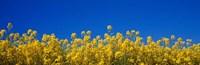 Rape Field in Bloom under Blue Sky Fine Art Print