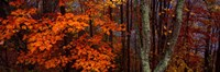 Trees in Forest, Great Smoky Mountains National Park, North Carolina Fine Art Print