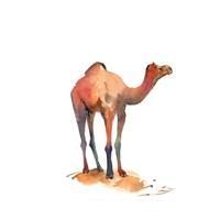 Camel I Fine Art Print