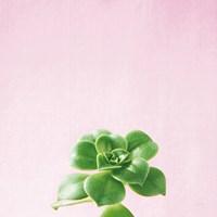 Succulent Simplicity VII on Pink Fine Art Print