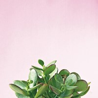 Succulent Simplicity III on Pink Framed Print