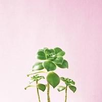 Succulent Simplicity IX on Pink Fine Art Print