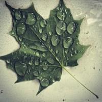 Maple Drops Fine Art Print