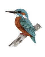 Mr Kingfisher Fine Art Print