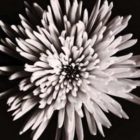 Dark Flower Fine Art Print