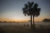Foggy Palm Fine Art Print