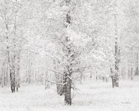 Snow Covered Cottonwood Trees Fine Art Print