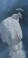 White Peahen Fine Art Print
