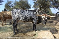 Cattle Fine Art Print