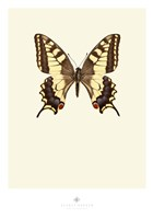 Papilio Machaon Fine Art Print