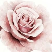 Pink Rose I Fine Art Print