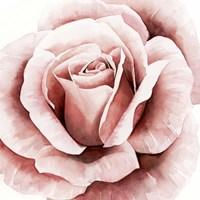 Pink Rose II Fine Art Print