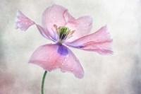 Pastel Poppy Fine Art Print