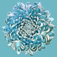 Blue Chrysanth Fine Art Print