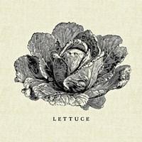 Linen Vegetable BW Sketch Lettuce Fine Art Print