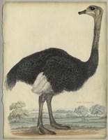 The Ostrich Fine Art Print