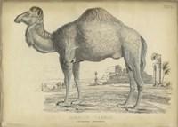 Camel Bactarnian Fine Art Print