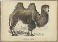 Camel Dromedary Fine Art Print