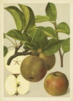 Russet Apples I Fine Art Print