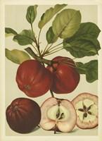 Red Veli Apples II Fine Art Print