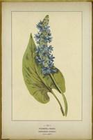 Pickerel Weed Fine Art Print