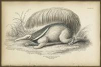 Great Anteater Fine Art Print