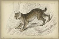 Felis Canadenis Lynx Fine Art Print