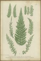 Polystichum Fine Art Print
