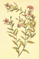 Broad Leaved Fireweed Fine Art Print