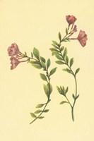 Epilobium Rigidum Fine Art Print