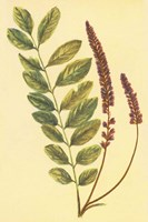 Lead Plant Fine Art Print