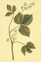 Poison Ivy and Poison Oak Fine Art Print