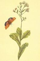 Sedum Telephium Fine Art Print