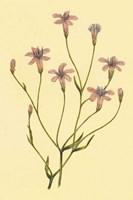 Wheeler's Chaetadelpha Fine Art Print
