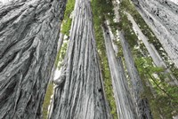 Redwoods Forest IV BW with Color Fine Art Print