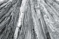 Redwoods Forest IV BW Fine Art Print