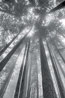 Fir Trees II BW Fine Art Print