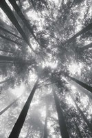 Fir Trees I BW Fine Art Print