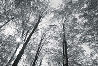 Autumn Forest III BW Fine Art Print