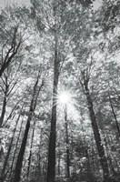 Autumn Forest I BW Fine Art Print