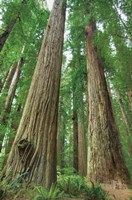 Redwoods Forest I Fine Art Print