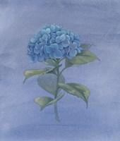 Blue Hydrangea IV Fine Art Print