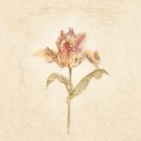 Zoomer Schoon Tulip on White Crop Fine Art Print