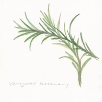 Variegated Rosemary II Fine Art Print