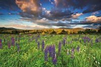 Lupine Sunset Fine Art Print
