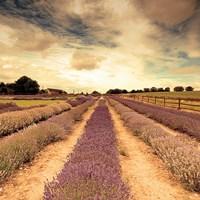 Lavender Fields Forever Fine Art Print