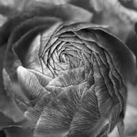 Ranunculus Abstract II BW Fine Art Print