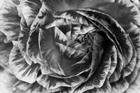 Ranunculus Abstract VI BW Fine Art Print